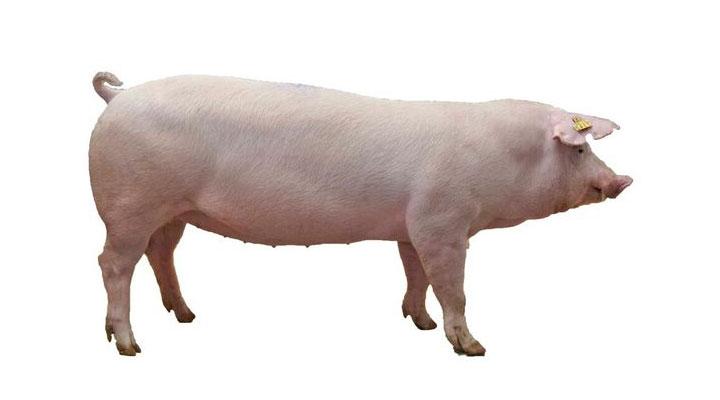 ダンブレッドSPF種豚 シムコの種豚 株式会社シムコ ~シムコは、種豚 ...
